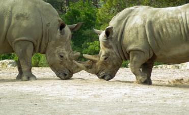 rinoceronte, la razon