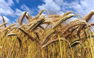 trigo y zisaña