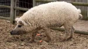 cerdo oveja